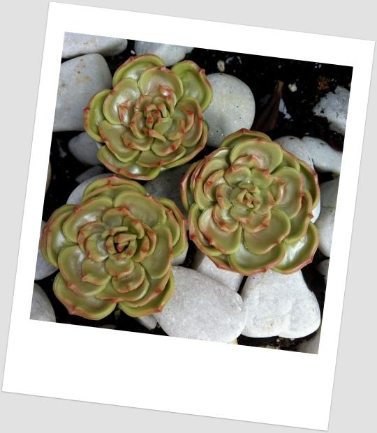 Cactus de fondant