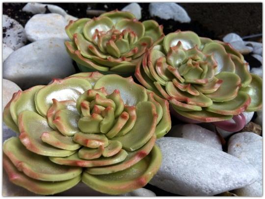 Cactus de fondant rosas