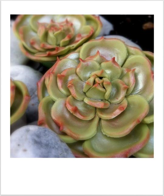cactus rosa fondant