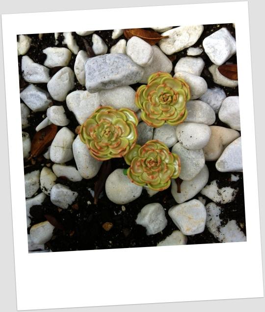 Cactus rosa de fondant